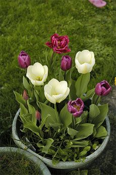 How to care for tulip bulbs over the winter so that they will bloom in a patio container in the spring