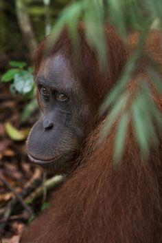 Sumatran Orangutan Society (SOS) by Gita Defoe for Photographers Without Borders. Sumatran Orangutan, Orangutans, Without Borders, Monkeys, Adorable Animals, Habitats, Project Ideas, Photographers, Creatures