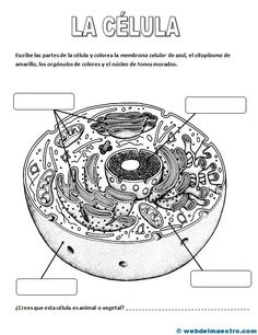La célula - Web del maestro Plant And Animal Cells, Saturday Workout, Science Notes, Medical Anatomy, Anatomy And Physiology, Microbiology, Home Schooling, Study Notes, Summer School