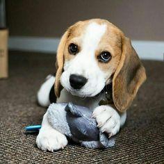 Baby Beagle, Beagle Puppy, Animals And Pets, Baby Animals, Cute Animals, Pet Dogs, Dogs And Puppies, Doggies, Custom Dog Collars