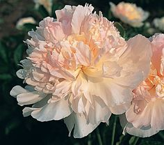 """""""Fairy's Petticoat"""" by White Flower Farm.  Fragrant with flouncy, full double blooms that are blush pink with a rich golden glow in the heart and fades softly to cream as they age.  Large flowers that blooms in June (and even deer resistant)."""