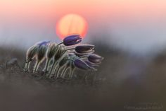 Pulsatilla grandis by Anton Simon on 500px