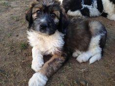 Cute St Bernard Poodle Puppies Images