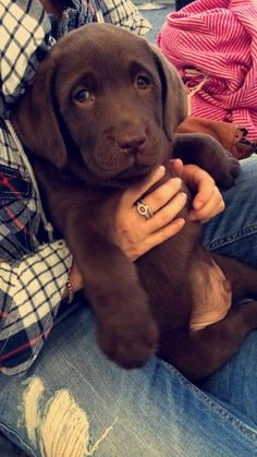 Chocolate Labrador                                                       …