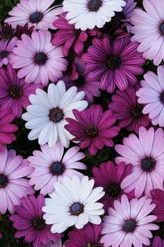Osteospermum flowers I have sirocco and tradewinds in light purple deep purple and rose: