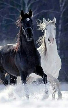♂ Black and White horses running - Irmas hästbilder - Horse Most Beautiful Horses, All The Pretty Horses, Animals Beautiful, Nature Animals, Animals And Pets, Cute Animals, Black Horses, Wild Horses, Horses In Snow