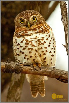 }{     Gorgeous Owl --I am watching by Onephotography by John de Jager  (magicalnaturetour:)
