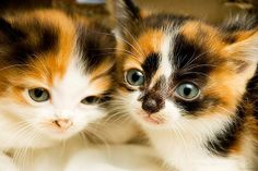 Two adorable calico kittens