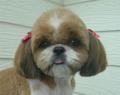 -Repinned- Shih Tzu hairstyle.