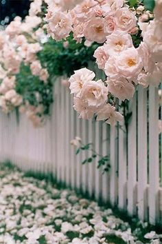 picket fence with roses all over-small fence in front yard