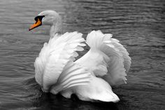 """Pictures of swans always make me think of the ballet """"Swan Lake""""."""