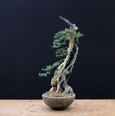 Large Website located in the UK, offers Bonsai Art, Species guides for Bonsai trees, Bonsai galleries and Bonsai Techniques. Indoor Bonsai Tree, Bonsai Art, Bonsai Plants, Bonsai Garden, Bonsai Trees, Boxwood Bonsai, Buxus Sempervirens, Plant Hanger, Shrubs