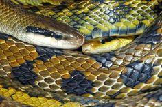 Taiwanese beauty rat snake