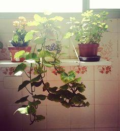 Casa de avó  e uma linda folhagem de batata para eu me lembrar de fazer igual.  #plantasemcasa #potatoplant