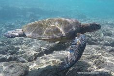 Where to Snorkel with Green Sea Turtles in Hawaii #Travel