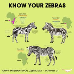 What looks like a horse, lives in Africa and has black and white stripes? A zebra, of course! Known as one of the more easily recognizable creatures in the Animal Kingdom, zebras are actually much more than the color (and … Fun Facts About Animals, Animal Facts, Zoo Animals, Animals And Pets, Cute Animals, Reptiles And Amphibians, Mammals, Mountain Zebra, Plains Zebra