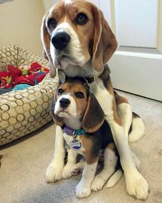 Are you interested in a Beagle? Well, the Beagle is one of the few popular dogs that will adapt much faster to any home. Whether you have a large family, playfu Very Cute Dogs, Cute Dogs And Puppies, Pet Dogs, Dog Cat, Pets, Doggies, Baby Beagle, Beagle Puppy, Cute Beagles