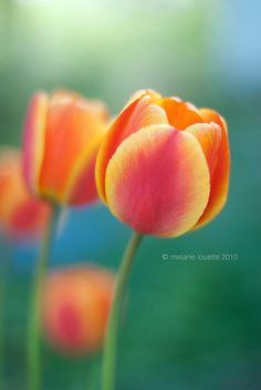 "tulips...my most favorite flower in any garden.  Love receiving them also. I call them ""my new age roses"". With all the types and colours available, they're just as nice-beautiful as roses...and way less expensive also! ( :"
