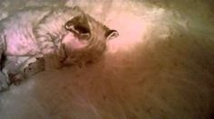 Котята помета Q, 15 дней