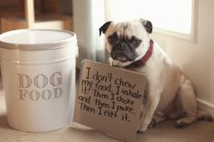 He doesn't understand why he's being shamed for not being wasteful and tbh, I don't get it either. | 23 Photos That Prove Pug Shaming Is The Best Kind Of Dog Shaming