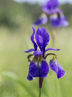 Blumenbild Iris-Schönheit vom Land