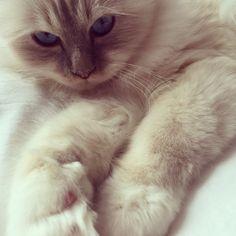 #birman #cat #soho