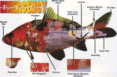 """This is my butterfly Koi a 5"""" long sometimes they called it mariposa koi. I find it very beautifull because of the strong color of yellow on her head. I think it's belong to HIkari muji koi. Breeding koi is so much fun specially if you have a lot of..."""