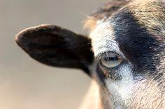 Proč mají některé zvířecí oči mají horizontální žáky? | Kosmos