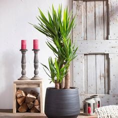 A large plant as a shining centerpiece of your living room. A large plant as Indoor Trees, Indoor Planters, Flower Planters, Flower Pots, Planter Pots, Large Plants, Potted Plants, Yucca Elephantipes, Urban Flora