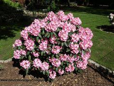Evergreen garden in Poland: Rhododendron Scintillation