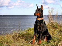 doberman-at-the-lake-doberman-hd-wall-papers-wide-screne-desktop-background-high-resulution-wallpaper.jpg (1920×1440)
