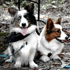 a heterochromic FLUFFY blue merle. i think i found my dream cardi. the red one is pretty damn flufftastic too. adorable cardi pair submitted by ellen a Cardigan Welsh Corgi Puppies, Pembroke Welsh Corgi Puppies, Corgi Mix, Corgi Funny, Cute Corgi, Birthday Corgi, The Cardigans, Corgi Facts, Dogs