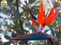 Yaprakları büyüktür, 30-200 cm uzunluğunda ve 10-80 cm genişliğindedir. Yaprakları muz yapraklarına benzemektedir.