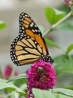 https://flic.kr/p/X9YHe8 | Monarch Butterfly