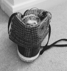 Munch our South African Pygmy hedgehog snuggled and sleeping in my Converse trainer x too cute x