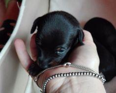 Varese: CUCCIOLI PINCHER: #vendita #cuccioli #pinscher #varese Vai all'annuncio: