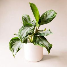 Chinese Evergreen Silver Bay
