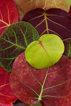 Cudjoe Key, Florida - An arrangement of showy Sea Grape (Coccoloba uvifera) leaves, South Florida's fall colors. Photo © copyright by Paul Marcellini.
