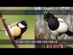 Lintukaraoke Finland, I Laughed, Science, Education, Opi, School, Videos, Nature, Youtube
