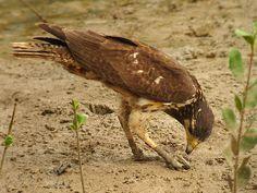 Caranguejeiro (Buteogallus aequinoctialis)