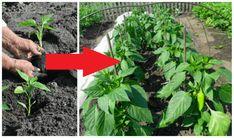 Minulý rok som prvýkrát skúsila dodržať tieto zásady vysádzania priesad a starostlivosti o ne. Úroda bola ohromná, toľko papriky sme nikdy nemali. Verím preto, že na tom niečo bolo! Celery, Vegetables, Gardening, Plants, Cilantro, Lawn And Garden, Vegetable Recipes, Plant, Veggies