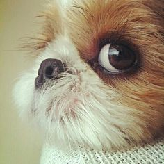 That suspicious look in the eye of a Shih Tzu