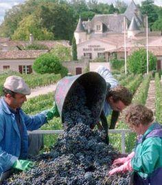 The Château Haut-Brion vineyards in Pessac, near Bordeaux