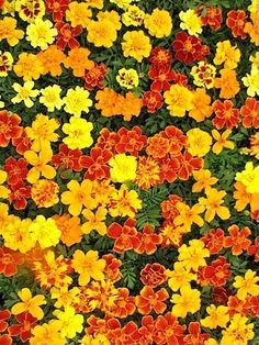 Marigolds. Repel ticks and other bugs - plus 25 of the most beautiful varieties