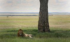 Zoos: Saviors of Threatened Species or Creators of Unnatural Ones?