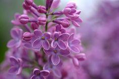 500px / Photo Lilac by Masanori Shimizu Simply beautiful.