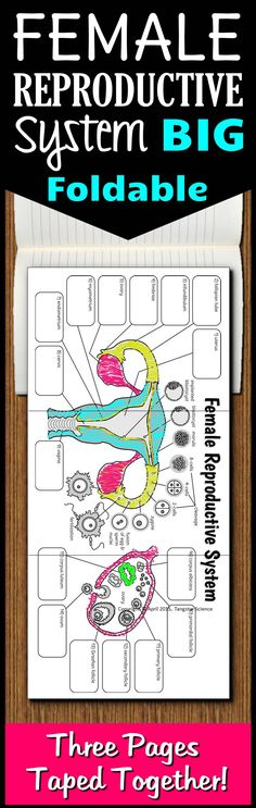 This 3 page foldable contains a diagram of the female reproductive system (including a close up of follicular development within the ovaries) with text boxes and labels for the important structures.  A refreshing way to teach this body system that will have your students begging for more big foldables.  Comes in 5 different foldable options and an answer key is included for all the structures.  I drew the image in Adobe Illustrator to keep the lines crisp when enlarged to 3 pages.