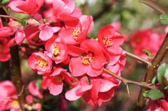 Flowering *** QUINCE *** Shrub.