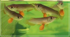Malaysian Red tail Arowana baby fish