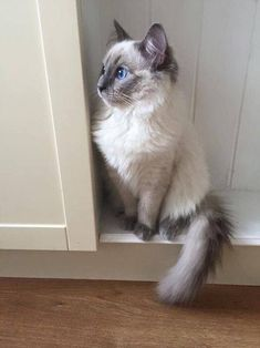 ragdoll cat blue ~*~ Cat is so cool! Kittens Meowing, Siamese Kittens, Fluffy Kittens, Ragdoll Cats, Cute Cats And Kittens, I Love Cats, Crazy Cats, Cool Cats, Kittens Cutest